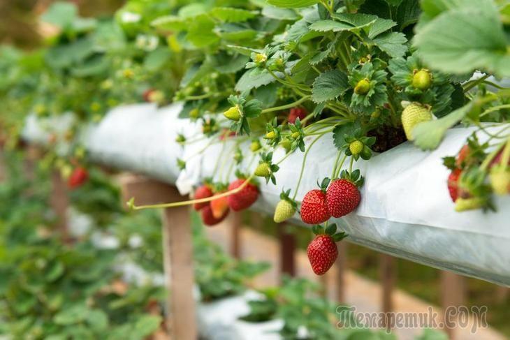 Как проводится подкормка клубники во время цветения и плодоношения?