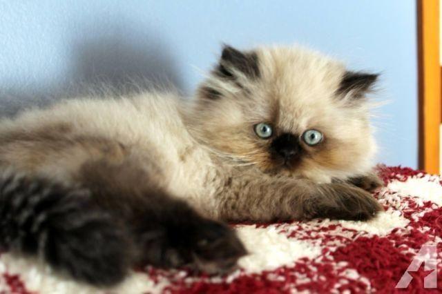 Cat Lovers Kenali Dulu Lebih Jauh Jenis Kucing Himalayan Sebelum Anda Putuskan Memeliharanya Anak Kucing Kucing