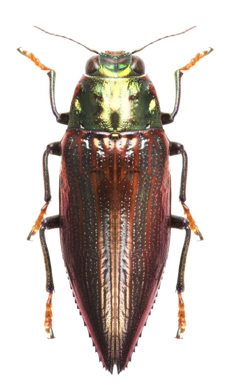 Chrysodema sp.