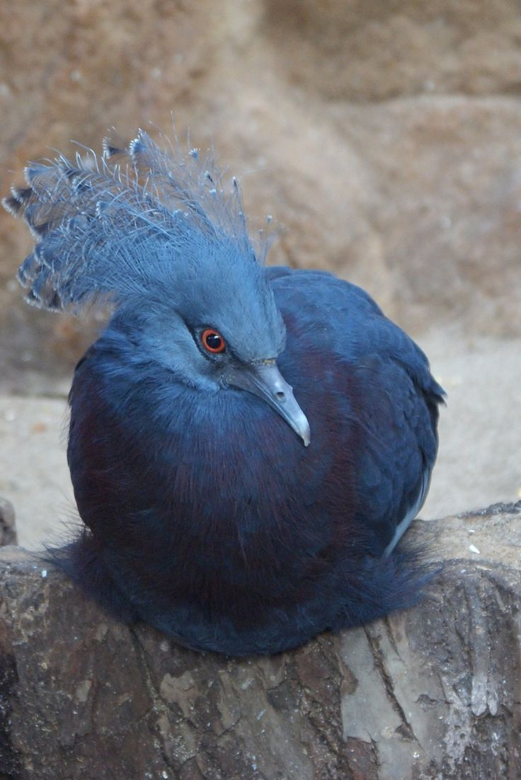 Victoria Crowned Pigeon - titled 'Dream warrior sun dancer' by Nesihonsu on DeviantArt