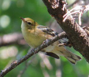 Identifying Confusing Fall Warblers: 5 Case Studies