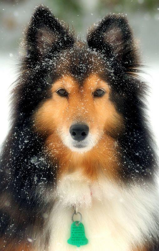 Snow powdered Sheltie