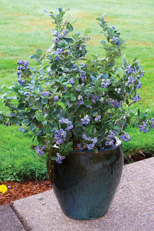 Growing Blueberries in a planter pot http://www.hgtv.com/gardening/how-to-plant-blueberry-pots/index.html?ic1=obinsite #gardening #tips #blueberries