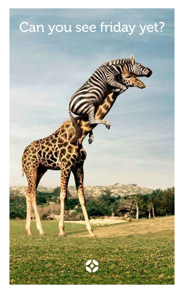 Can You See Friday Yet Zebra Giraffe on Funny Looking Camels With Quotes
