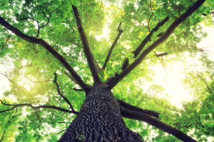oak trees pollen allergies