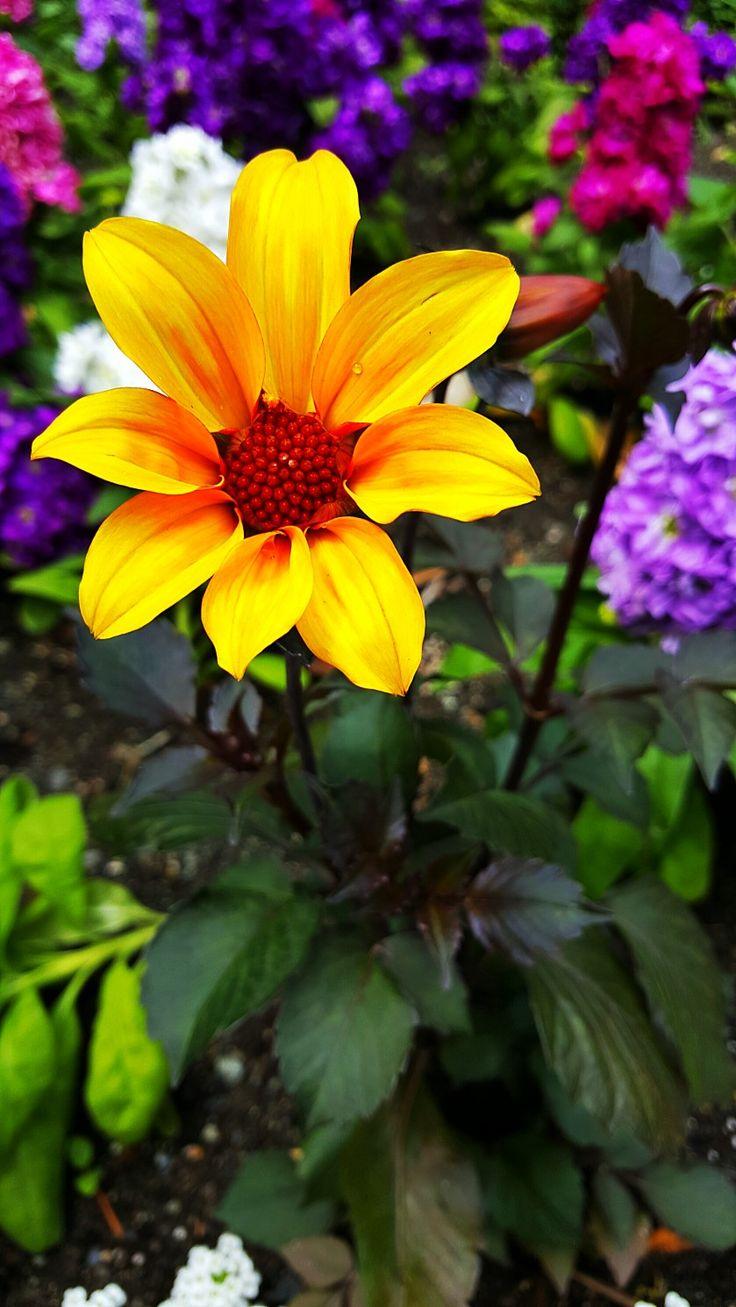 Butchart Gardens, Victoria BC Canada #butchartgardens #travel #naturephotography #flowers #beauty #wanderlust #photography
