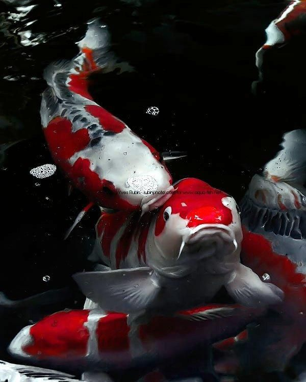 Most beautiful koi fish koi fish pictures images for Amazing koi fish