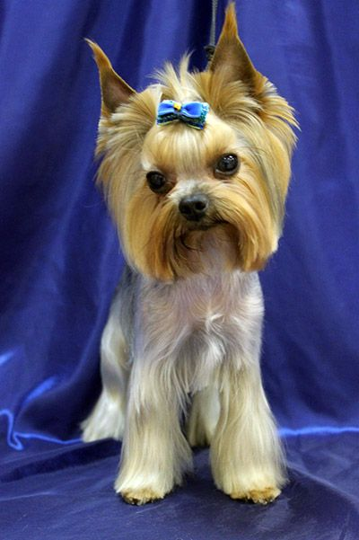 Find Yorkie Girl Names For Your Furry Companion