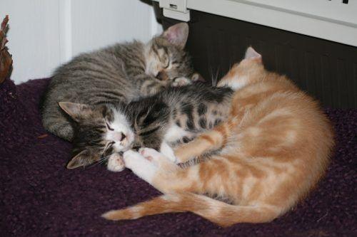 En lettlest oversikt over kattungens utvikling fra den er 5 uker til den er 12 uker gammel. Kitten development
