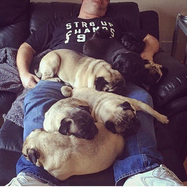 Leave that man alone! | photo by @pugs.n.kisses by pugbasement #mypugfriends…