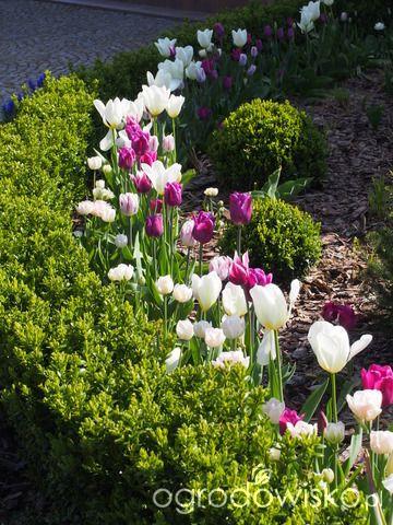 Marzenia i plany vs. rzeczywistość - strona 275 - Forum ogrodnicze - Ogrodowisko