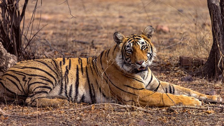 Tiger on a hot summer day - Lightning relaxing under a tree as summer hits ranthambhore. It is at its peak in June hitting nearly 50 deg centigrade and I am headed that way next week !