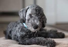 Image result for Bedlington terrier