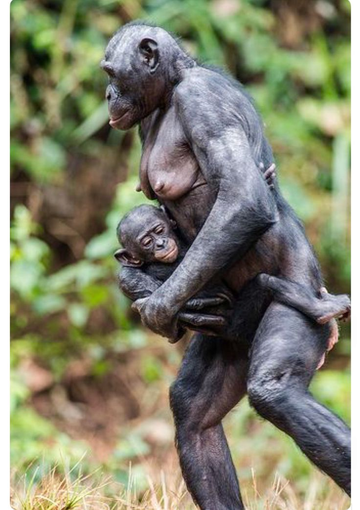Chimpanzee sleeping, copenhagen zdoo, denmark painting by dan civa