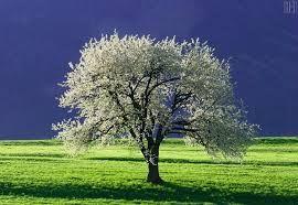 Imagini pentru poze cu flori de cires