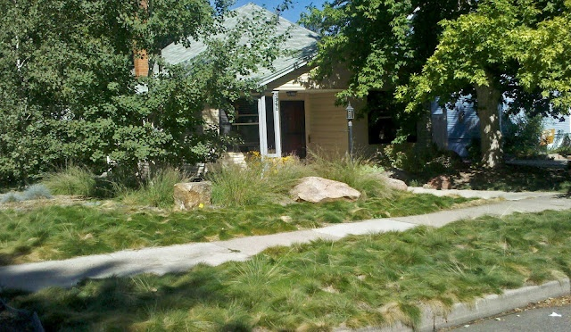 An alternative lawn in Denver of shaggy sedge or grass -- no mowing, no watering!