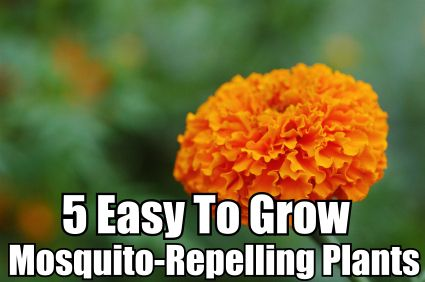 """5 Easy To Grow Mosquito-Repellent Plants. Includes catnip (my garden brings all the cats to the yard, and they're like, """"It's better than yours."""") and marigolds!"""