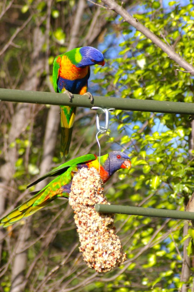 Lorikeets munching on the seed bell