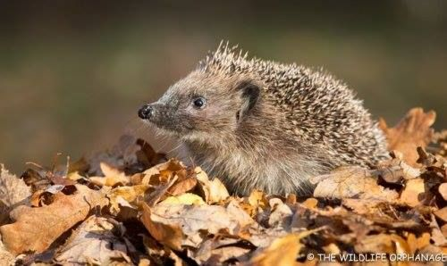 #Hedgehogs there are still many little Autumn Juveniles about... http://ift.tt/2Bykfgj