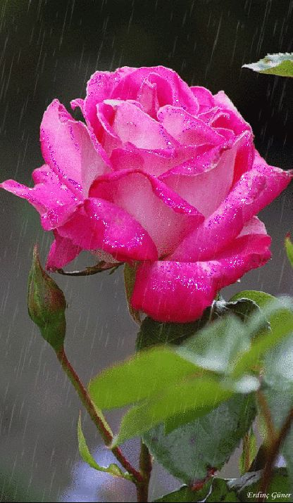 beautiful ROSE Pink - from Google+
