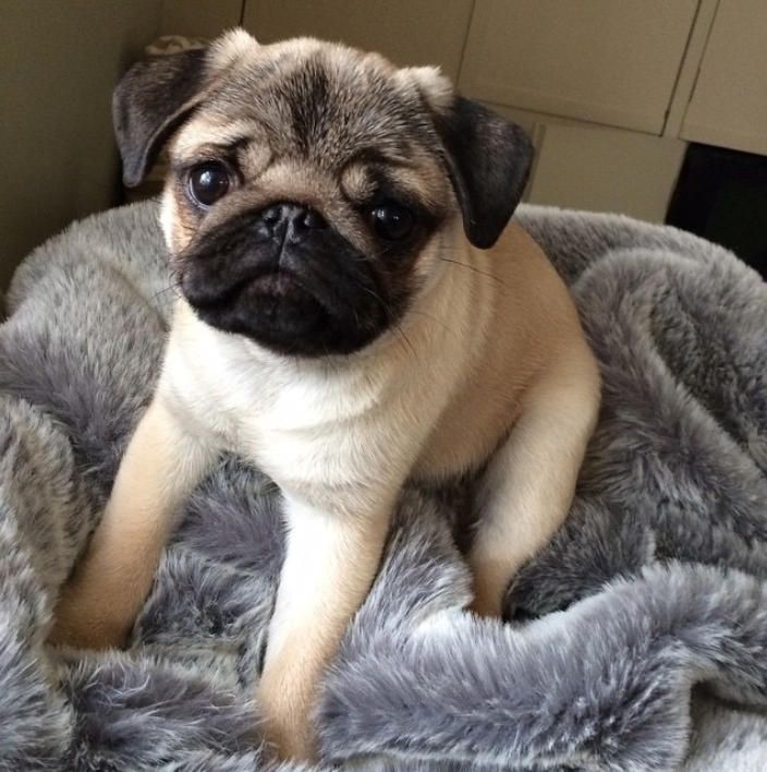 Pug Puppies For Sale Pug Puppies For Sale Fawn Pug Puppy Black Pug