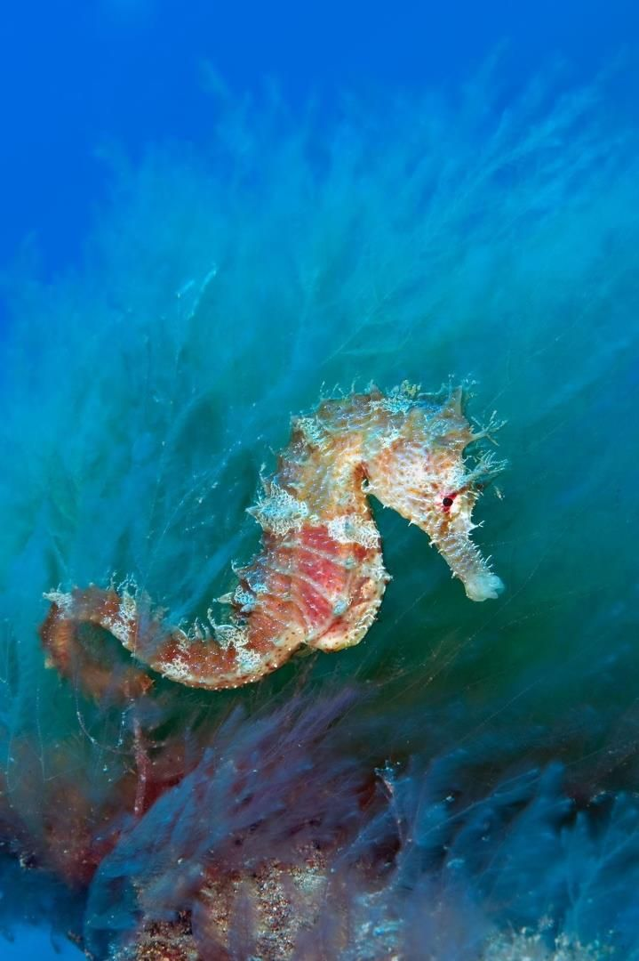 Great Seahorse photo by Alexander Mustard