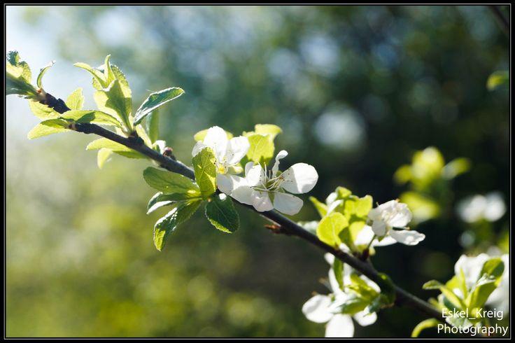 Fflowering plum by EskelKreig on DeviantArt