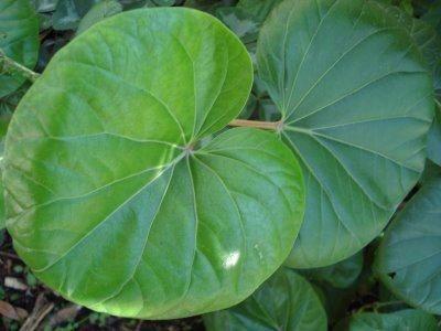 Erva muito utilizada pelos índios Tupis, Pariparoba ajuda a desinchar o corpo e em casos de anemia, úlceras e furúnculos. Veja como é simples fazer seu chá.