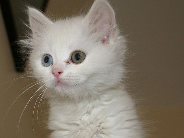 kitten with different colored eyes Heterochromia (1)