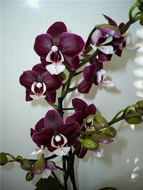 Die besten 25 phalaenopsis orchid ideen auf pinterest orchideenbl ten orchideen und - Pfeffer zimmerpflanze ...