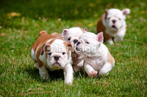English Bulldog Puppies Running Outdoors Stock Photo 178484927