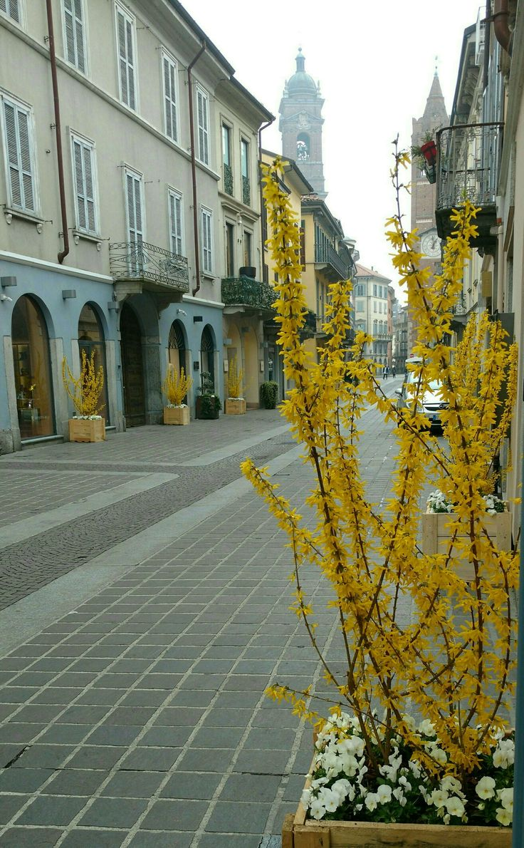 Monza center abloom with Forsythia in March