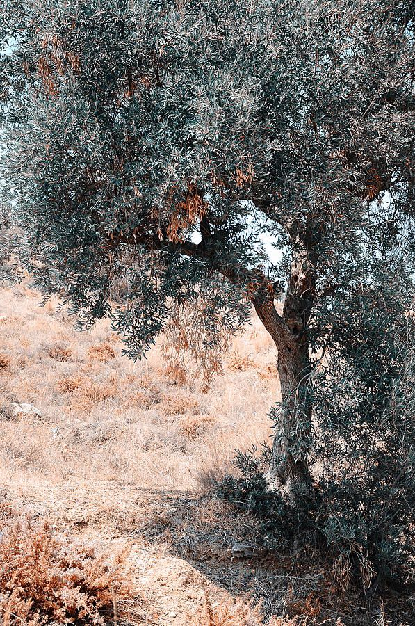 Silver Olive Tree. Nature In Alien Skin by Jenny Rainbow
