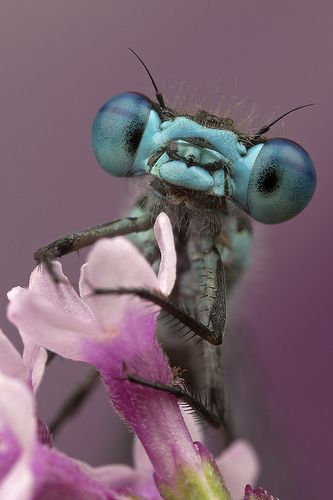 """Get a load of those baby blues! Did you know that the damselfly (seen here) is a relative of the dragonfly, and they both belong to an order that means """"toothed ones""""? (Photo: Murray Clarke)"""