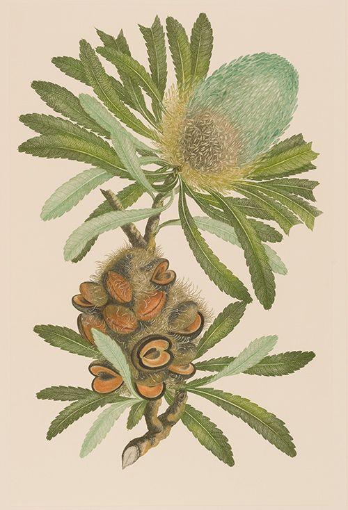 キャプテン・クック一行が見た、18世紀の知られざる植物『バンクス花譜集』展が渋谷で開催