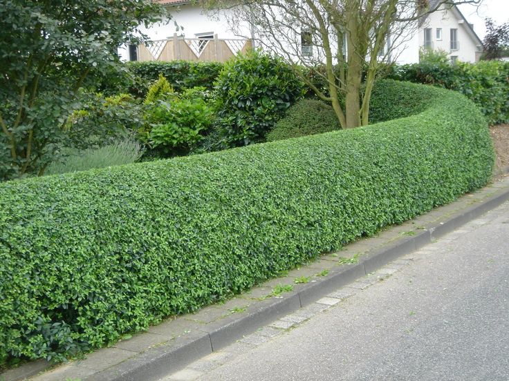 escallonia - basically hedge that can be pruned into any shape and is so dense and leafy that it provides a good backdrop for the rest of the garden