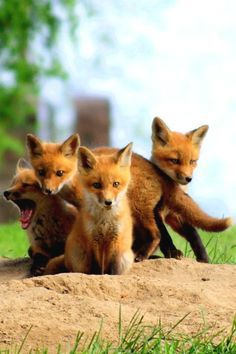 Hey : Cuddling Baby Foxes Request