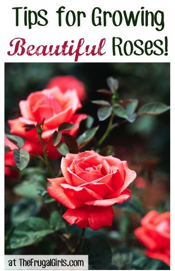 13 Tips for Growing Beautiful Roses! ~ from TheFrugalGirls.com #gardening #roses