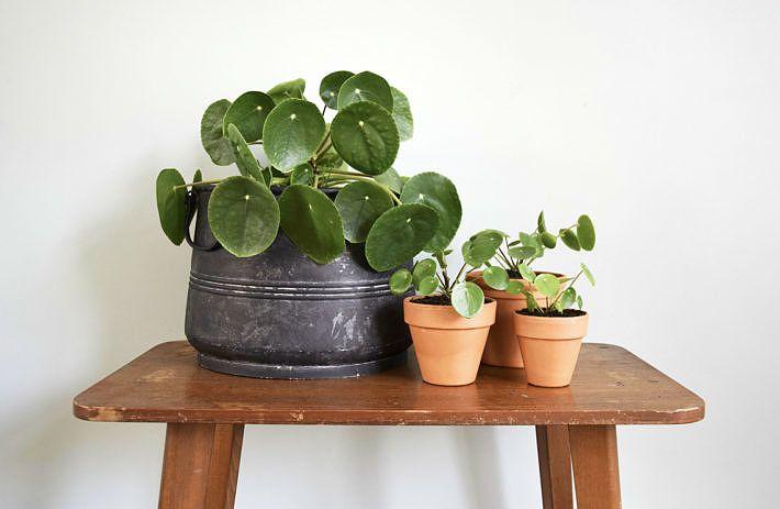 DIY | Een pannenkoekplant stekken - Wonen&Co