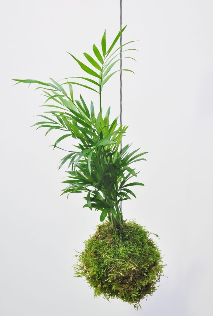 die besten 25 bergpalme ideen auf pinterest innen palmen gro e zimmerpflanzen drinnen und. Black Bedroom Furniture Sets. Home Design Ideas