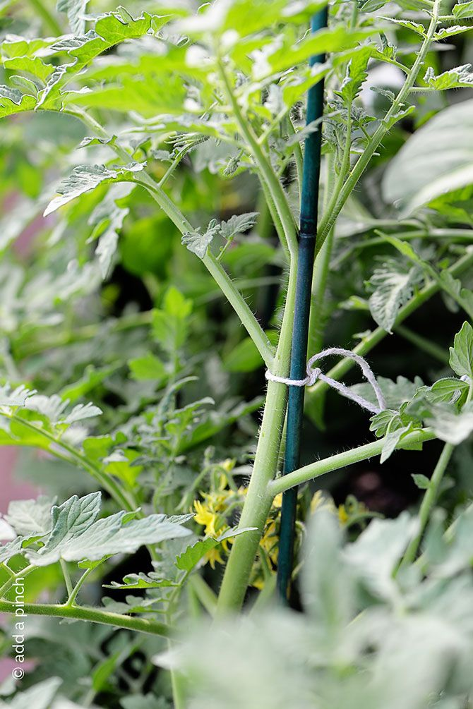 Staking Tomatoes - Whether you stake them or grow in cages, these favorite plants need support while growing. Helps you to pick their bounty too! Nothing quite like a homegrown tomato! from addapinch.com