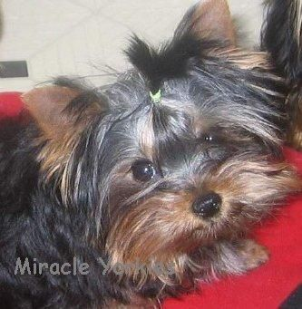 Yorkies, Yorkshire Terriers, Yorkie breeder NC, North Carolina Yorkshire Terrier