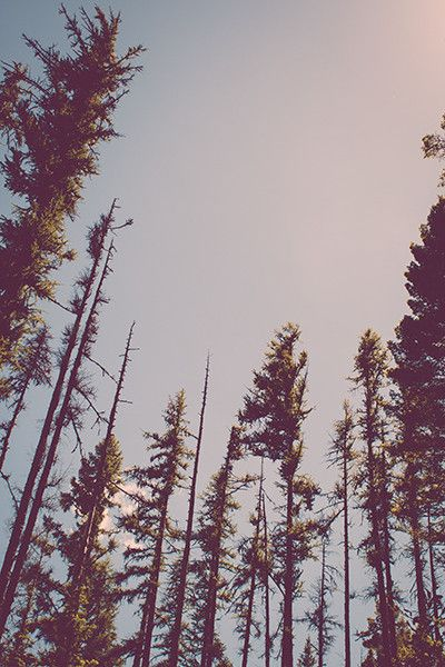 Pine treetops against a blue-gray woodland sky. This photograph is printed on wonderful, archival, Kodak Endura photograph paper by a professional lab. It will last a lifetime. It is shipped unframed