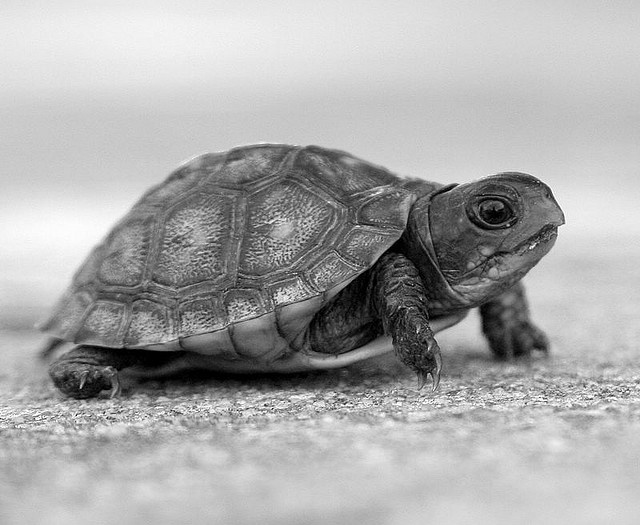 how to tell if box turtle is pregnant