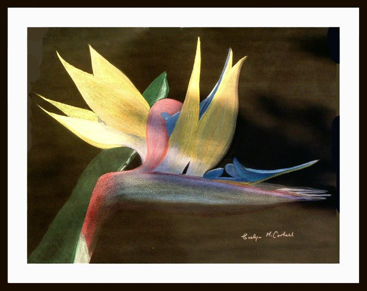 An unusual colour Bird of Paradise from a photo taken at the Tangalooma Resort