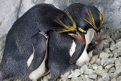 Macaroni penguins- check out the day old chick with her parents!
