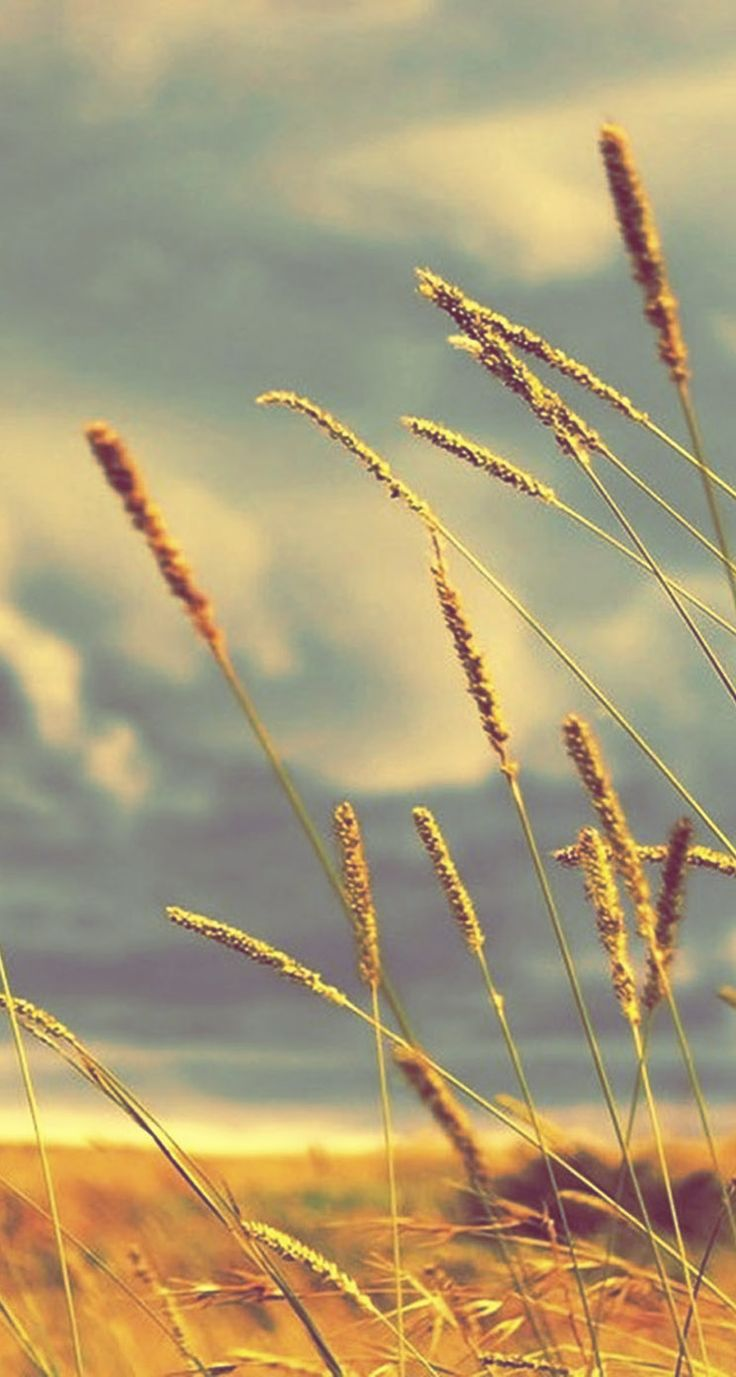 Wheat field tap to see spring summer feel wallpapers - Nature phone backgrounds ...