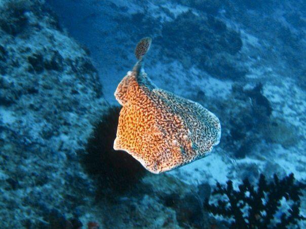 #torpedo #ray #scuba #diving #maldives