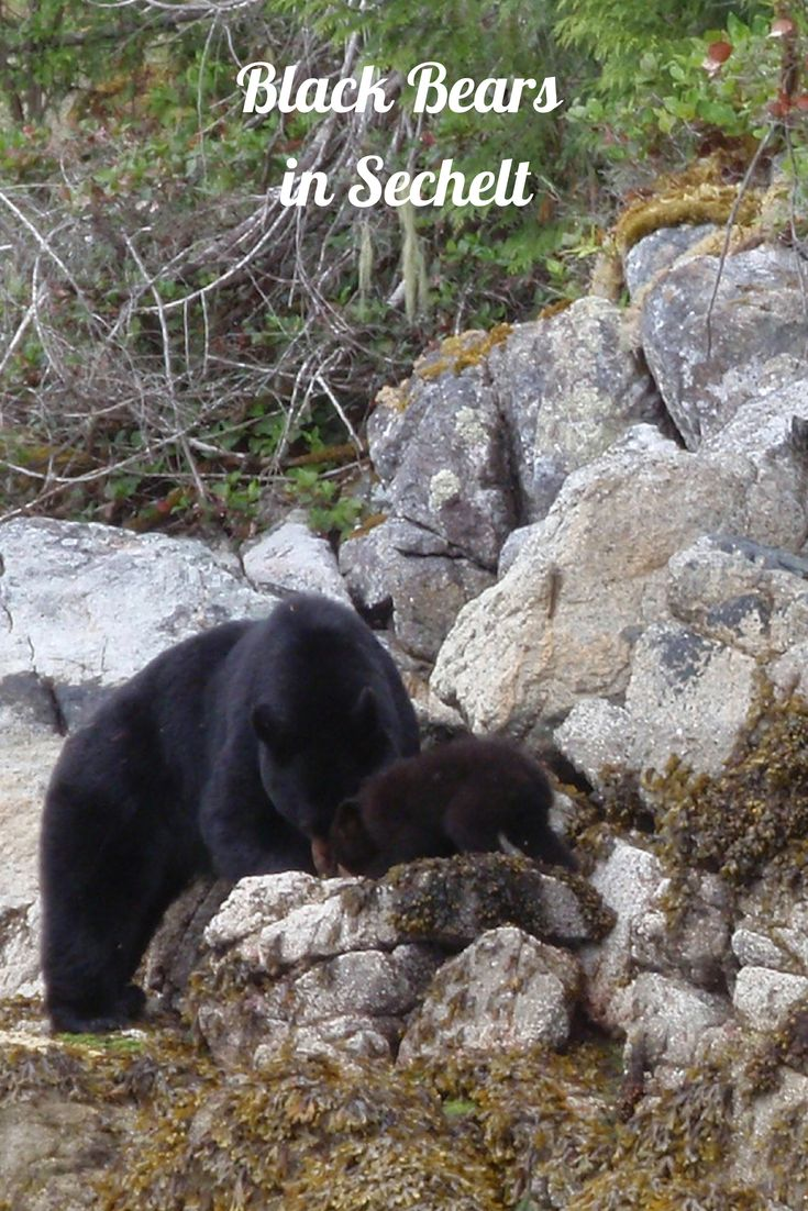 Black bears spotted while #kayaking in #Sechelt