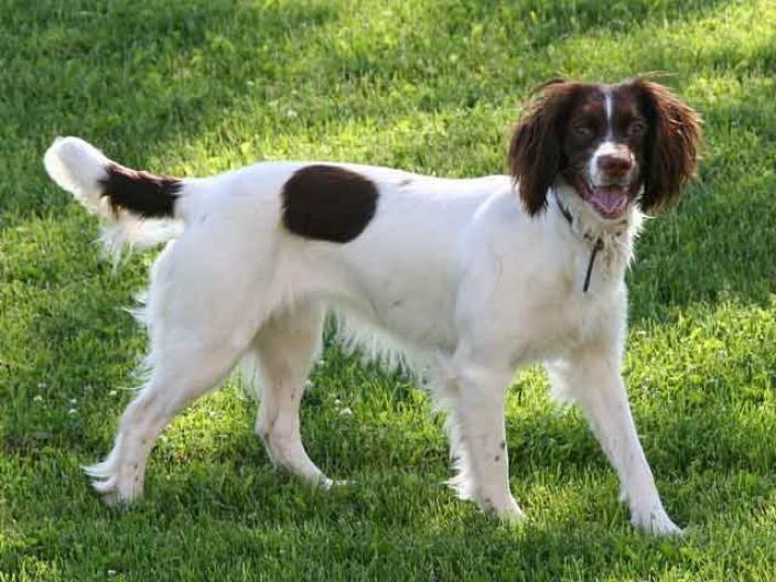 Norfolk Spaniel Dog